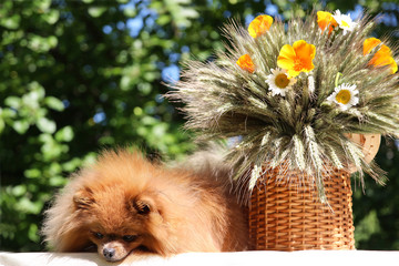 Сute pomeranian dog sitting on the table with flowers