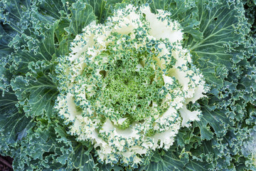 Ornamental Cabbage or Kale