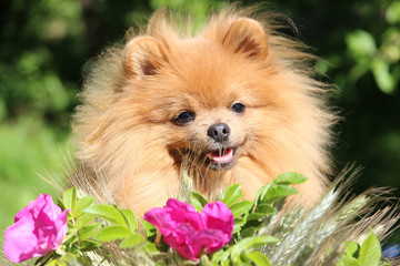 Portrait of cute pomeranian spitz in the flowers