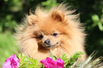 Portrait of cute pomeranian spitz in the flowers