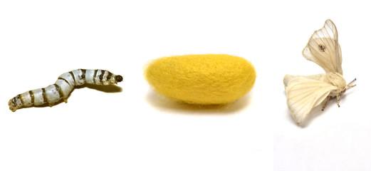 Ciclo vital del gusano de seda