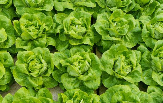 closeup of lettuces