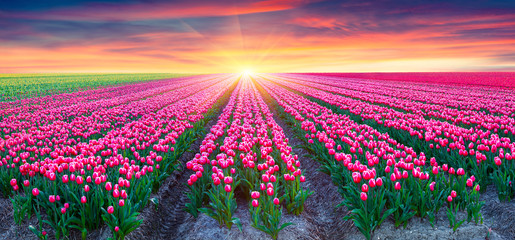 Wall Mural - Fields of blooming white tulips at sunrise.