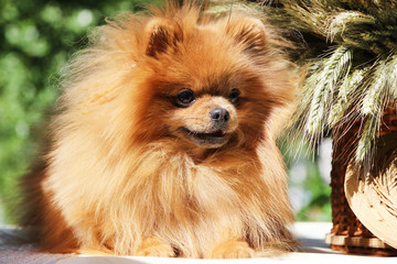 Portrait of cute pomeranian spitz