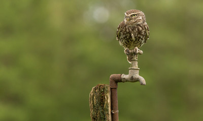 Fototapete - Tap dancer, a wild little owl sitting on an old water tap