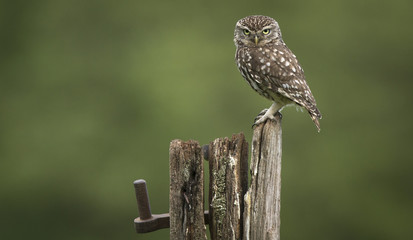Wall Mural - Angry bird, a wild little owl sitting on an old post