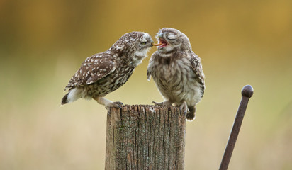 Wall Mural - An adult little owl feeding his owlet a juicy worm