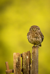 Wall Mural - Little owl on an old post isolated against a yellow background