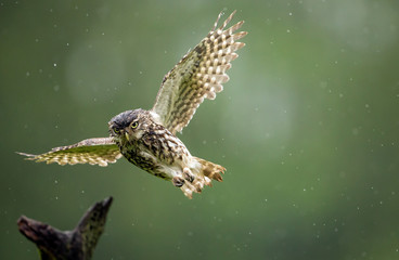 Fototapete - A little owl flying into land on an old branch in the rain