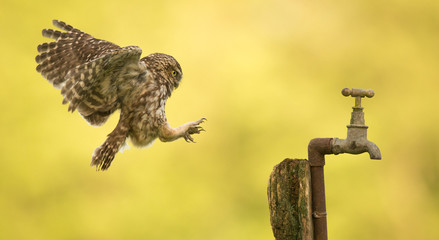 Wall Mural - coming into land, a wild little owl landing on an old water tap