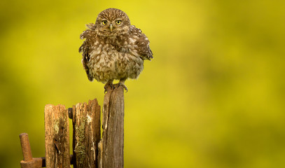Fototapete - Little owl on an old post isolated against a yellow background having a little shake