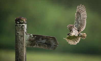 Poster - A little owl flying into land on an old wooden sign post