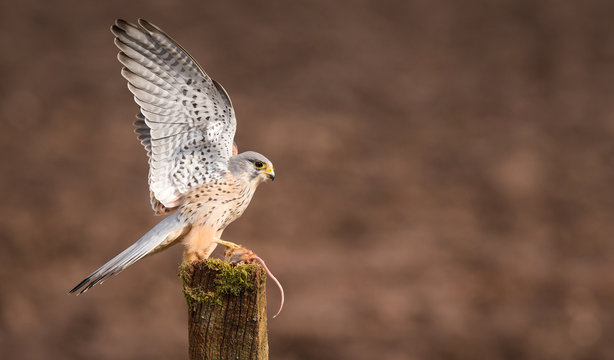 Wings up! a wild kestrel with his wings up