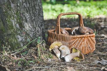 Group of white mushrooms near wicker basket in forest