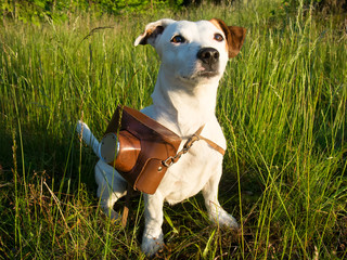 Dog breed Jack Russell with a camera hanging around his neck loo