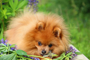 Playful pomeranian dog in the summer flowers on nature background