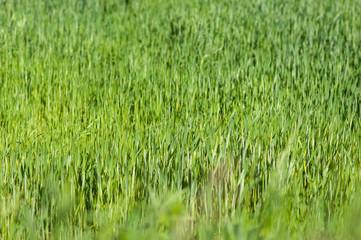 Green wheat field leaning in the wind