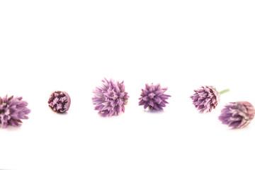 Chives flowers, allium tuberosum