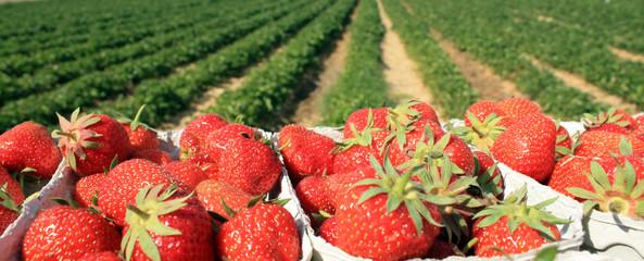 Erdbeeren Plantage an einem sonnigen Tag