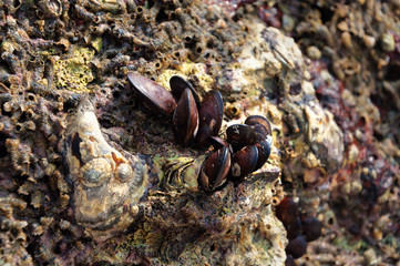 Mussel shells on a stone