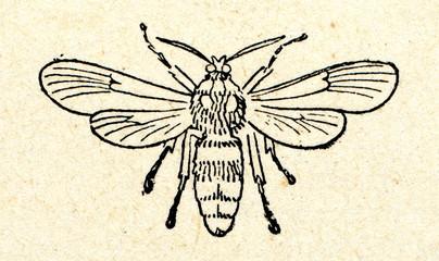 Hornet moth (Sesia apiformis)