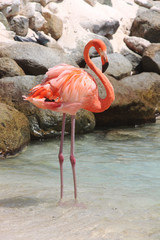 Pink flamingo standing on the beach, Renaissance private island, Aruba, Caribbean
