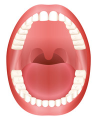 Teeth - open adult mouth model with upper and lower jaw and its thirty-six permanent teeth. Abstract isolated vector illustration on white background.