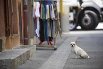 Small chihuahua dog sitting on street