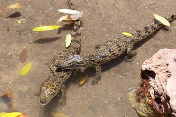 baby of a Nile Crocodile