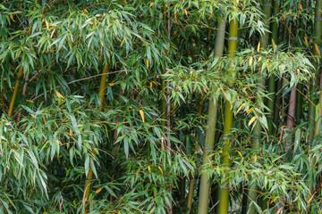 Plantas de Bambú. Bambuseae.