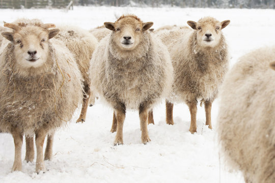 Sheep in the snow, eye contact