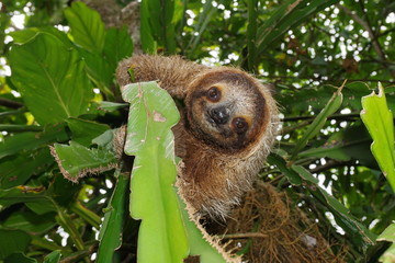 Cute three-toed sloth in a jungle tree wild animal