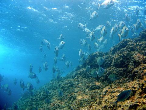 School of white seabream near surface