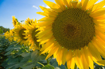 Sunflower in Chianti. Tuscany