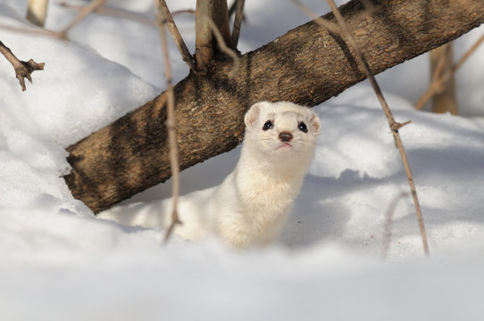 Winter Least Weasel in the snow hole