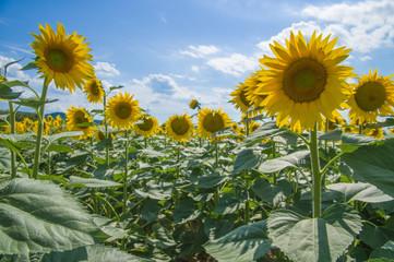 Sunflower in Chianti. Tuscany