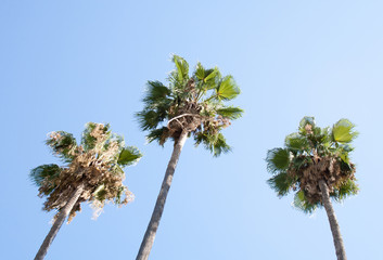 Palm tree on blue sky background view from below in sunny day