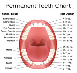 Teeth names and permanent teeth eruption chart with accurate notation of the different teeth, groups and the year of eruption. Isolated vector illustration over white background.