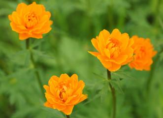 Orange flower in the garden.