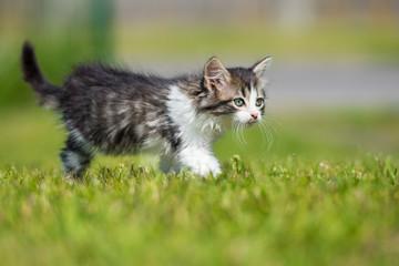 adorable tabby kitten walking on grass