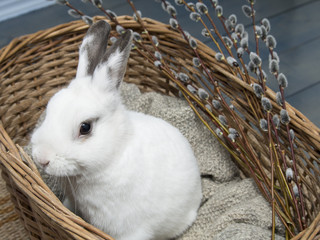 White rabbit and easter willow in basket.