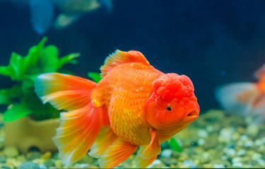 Big Goldfish