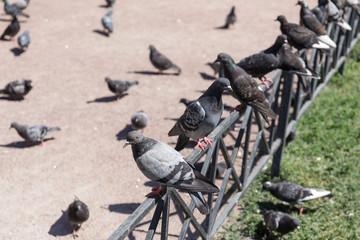 large flock of pigeons
