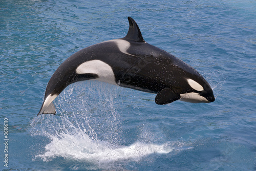 Wall mural Killer whale jumping out of water