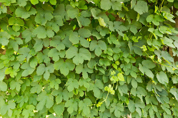 ホップの葉