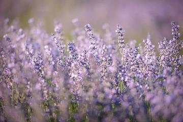 Blooming lavender field closeup