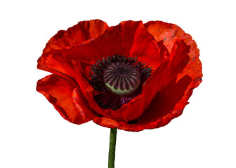 Red Poppy on isolated background