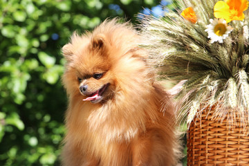 Portrait of lovely pomeranian dog with camomiles and orange flowers in summer on nature green background