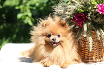 Portrait of lovely pomeranian dog in summer with pink flowers on nature green background