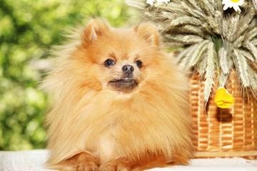Portrait of lovely pomeranian dog with chamomiles and orange flowers in summer on nature green background